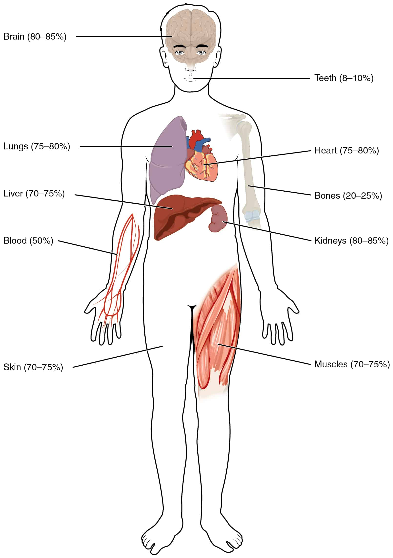 Water Content In Human Body